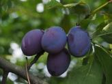 plums-693538_1280