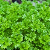 parsley-1444019_1920