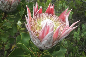 Die King Protea (Nationalblume von Südafrika) im Tafelberg Nationalpark