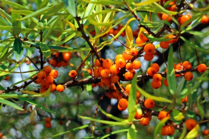 sea-buckthorn-440795_1920