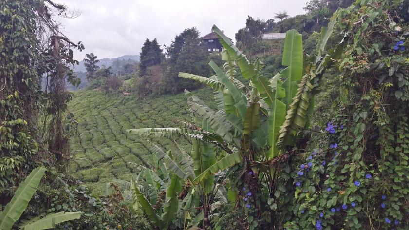 beblümte Teeplantage